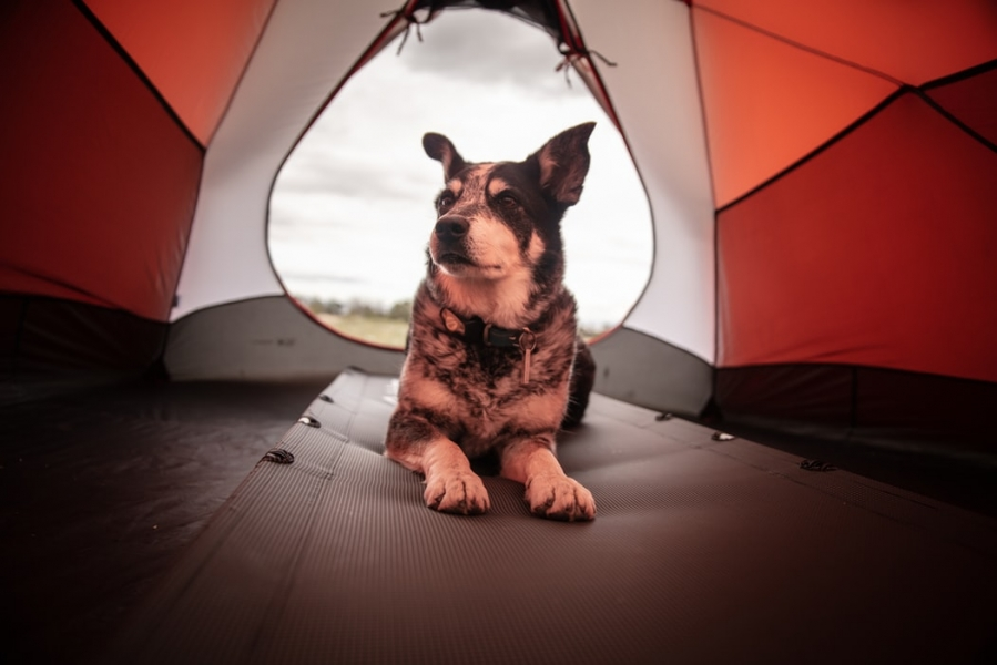 image Tips Untuk Berkemah Dengan Membawa Anjing Peliharaan Anda